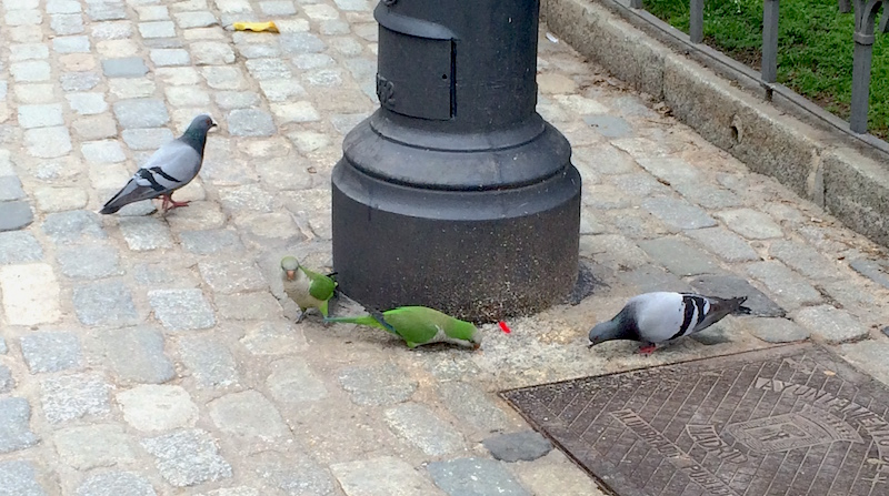 parrots and pigeons in madrid spain
