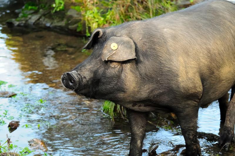 spanish black pig