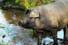 Black Iberian Pig by Stephen Slater via CC BY 2.0