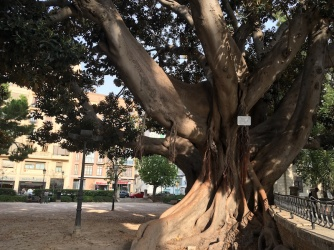 100 year old Ficus tree