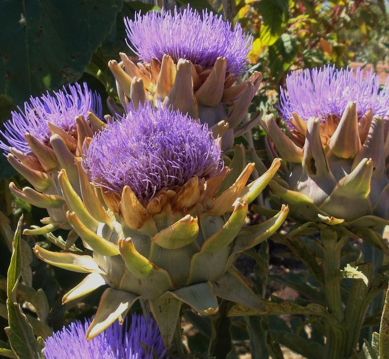 Artichoke Flowers by Eileen Kane