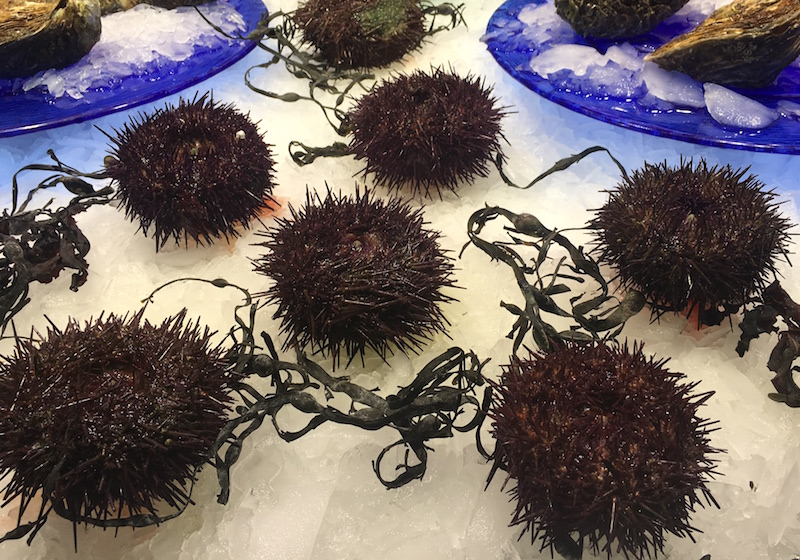 Purple sea urchins on ice