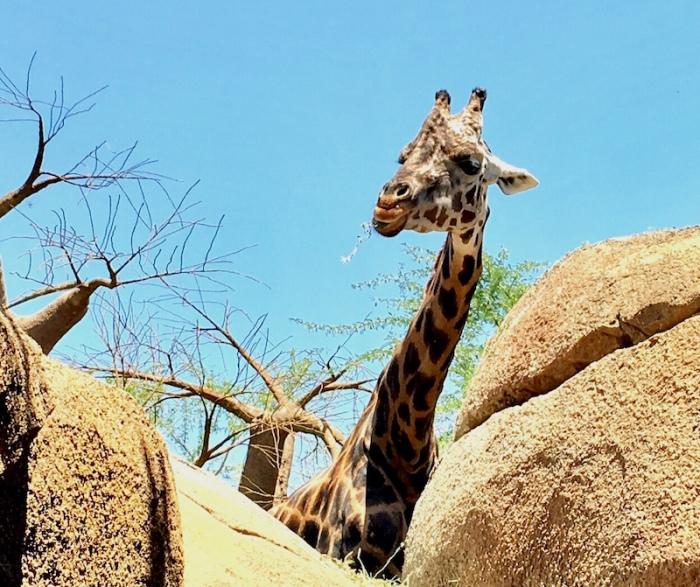 Giraffe Bioparc Valencia Zoo Immersion
