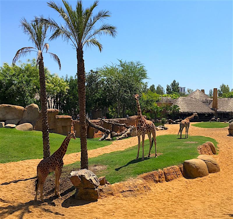 Giraffe Bioparc Valencia Zoo Spain