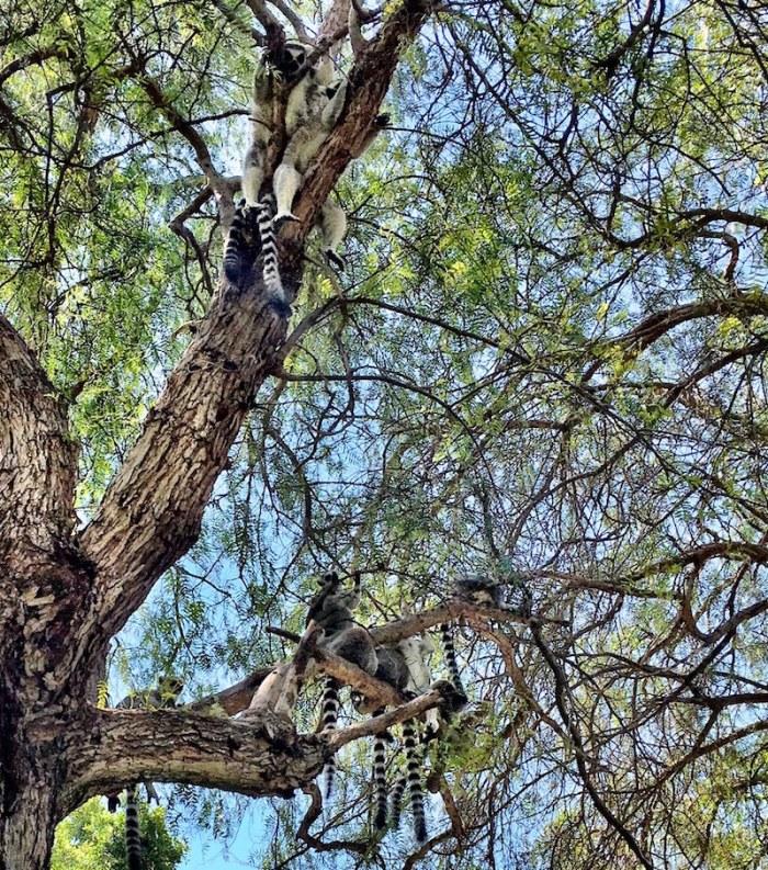 Lemurs in Madagascar trees Bioparc Valencia