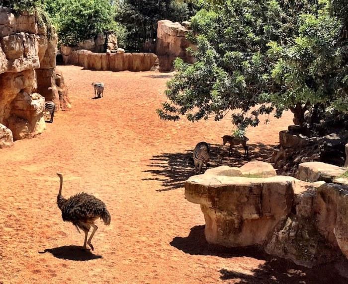 Ostrich Zebra Bioparc Valencia Zoo Spain
