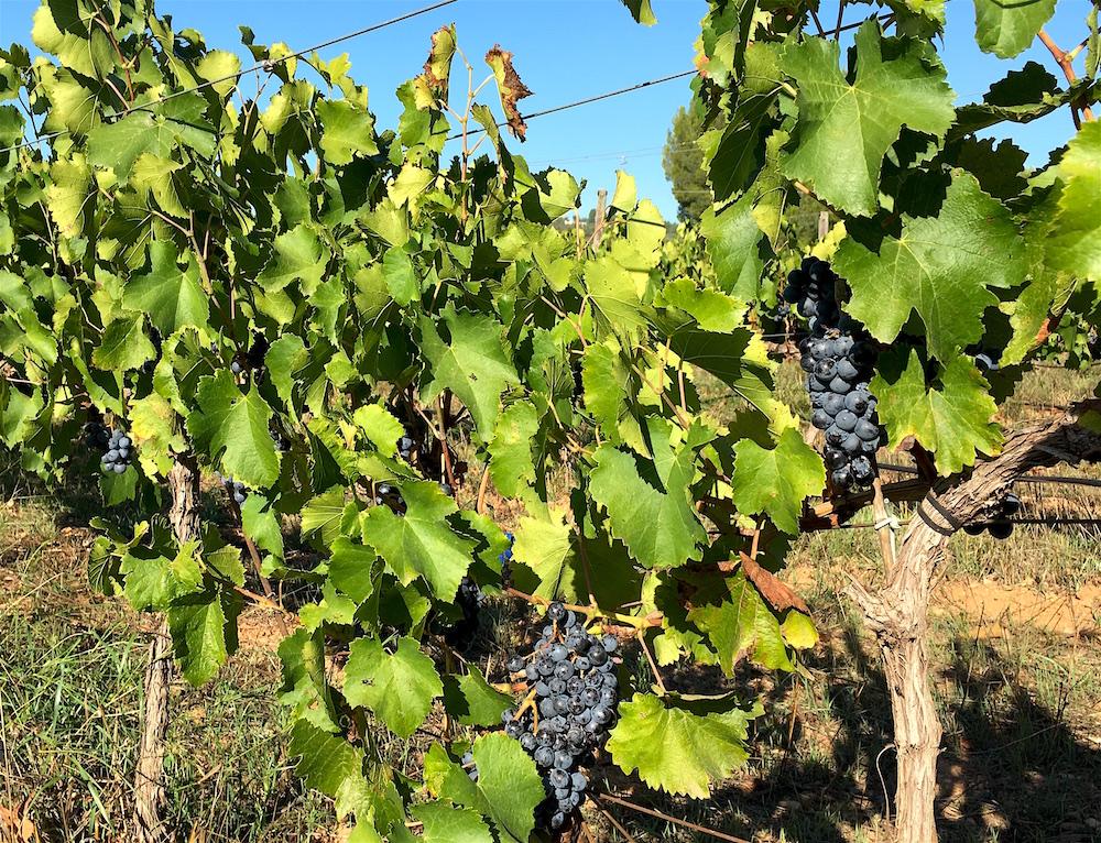 Garnacha vines Bodega Flors Winery Castellon Spain