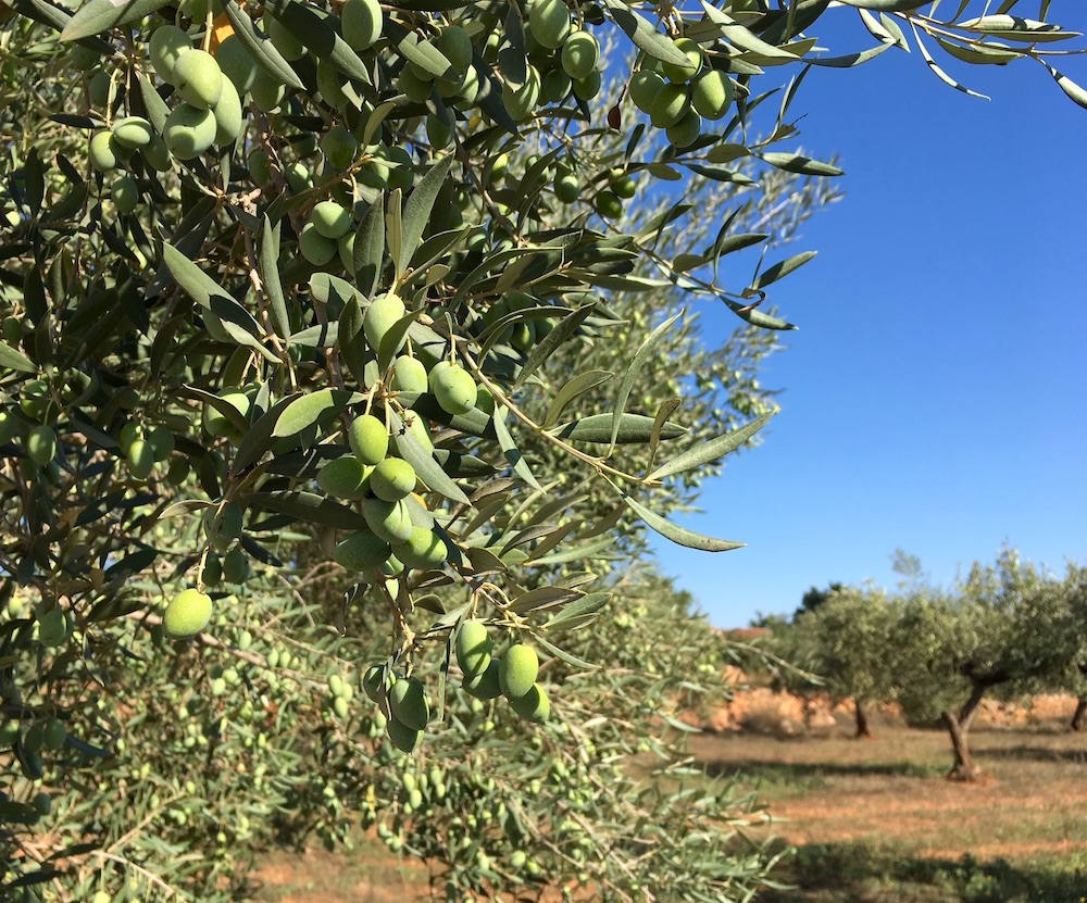 Olive Trees Castellon Spain