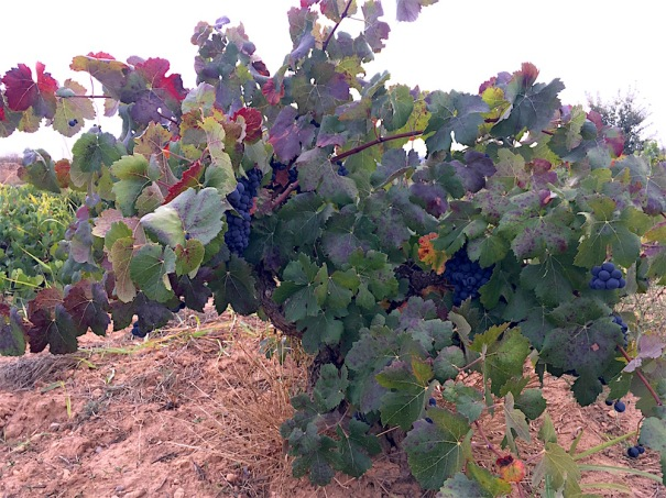 Bobal vineyard Vera de Estenas Valencia Spain