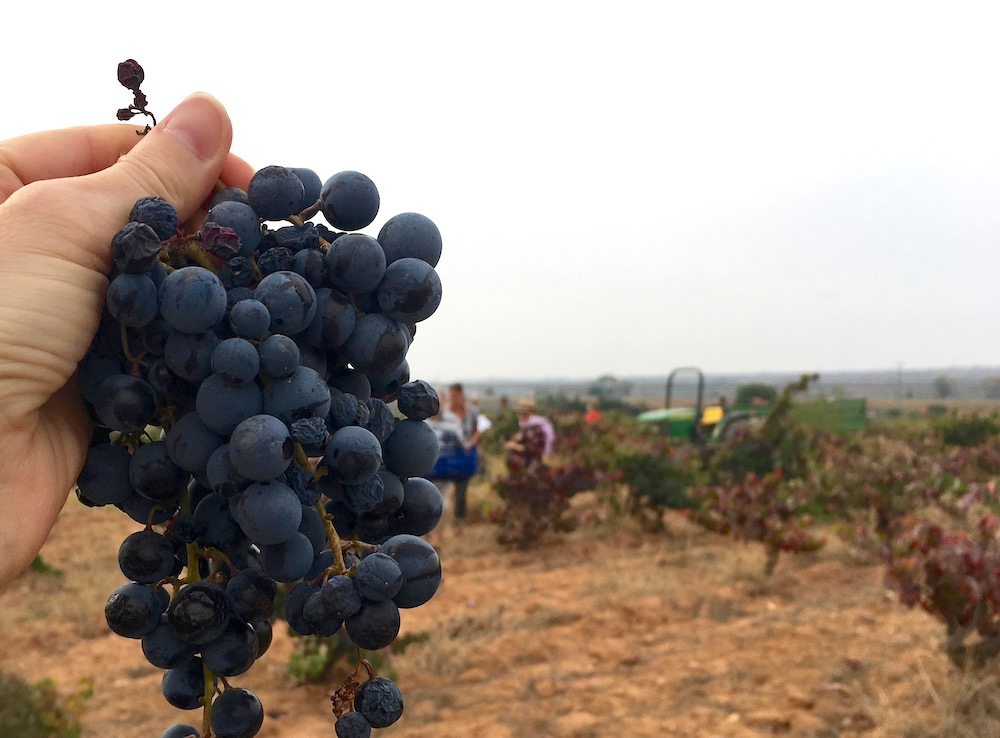 Bobal grape clusters