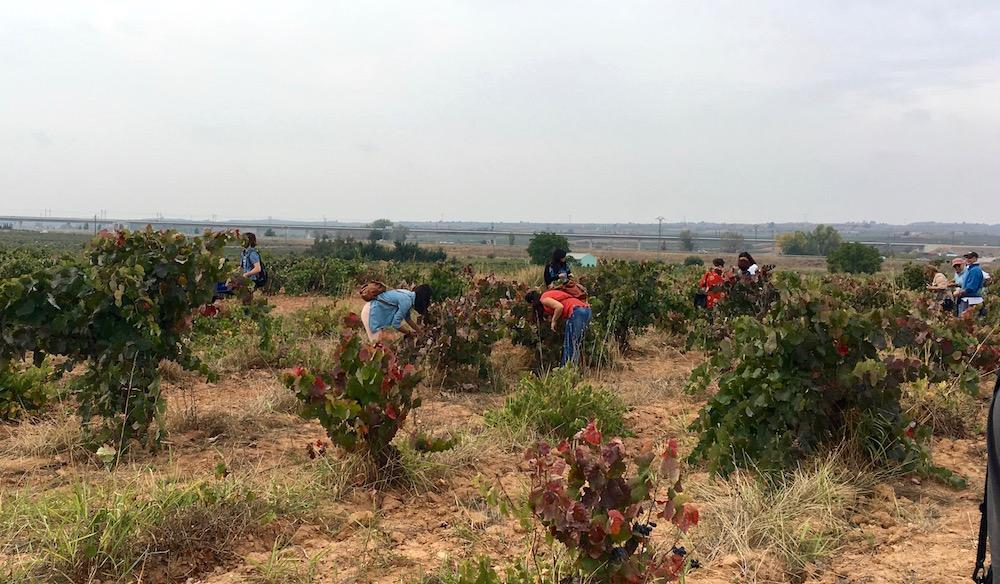 Bobal vineyard Vera de Estenas