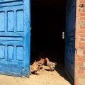 chickens behind a blue door
