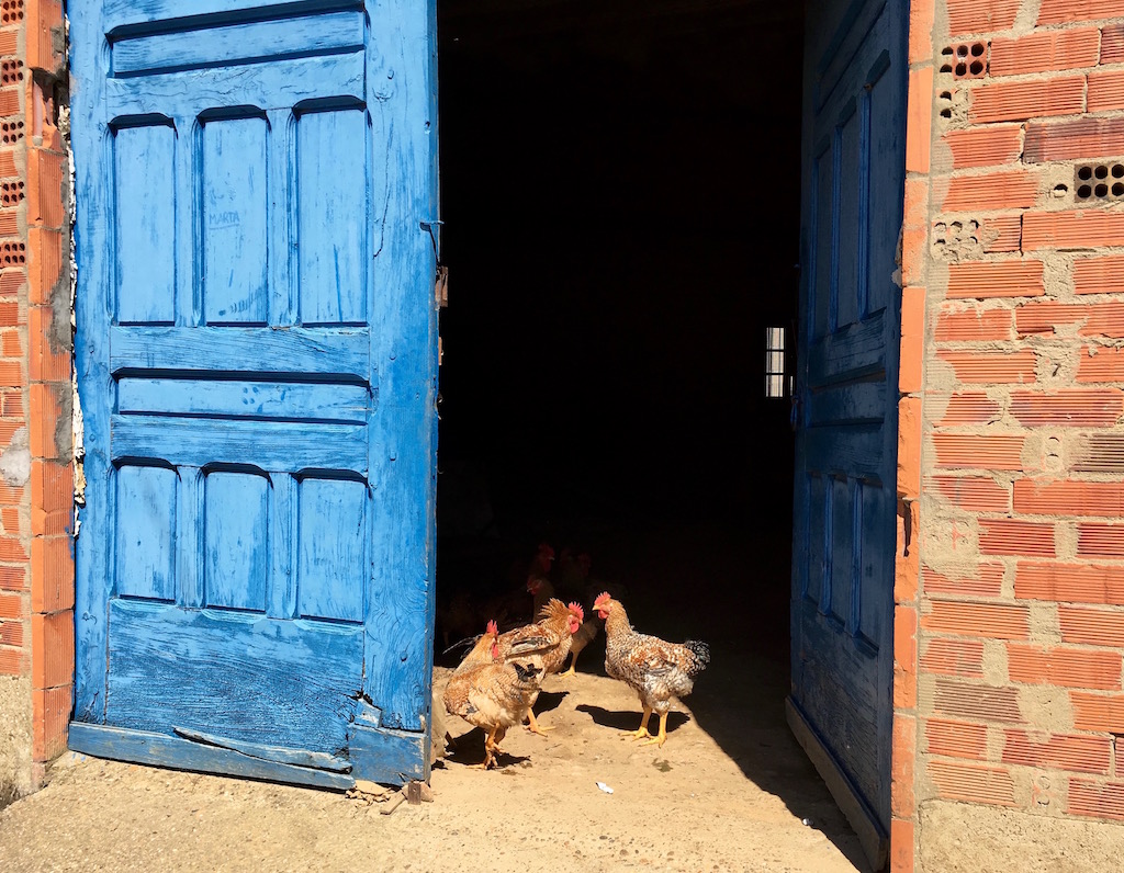 chickens behind a blue door