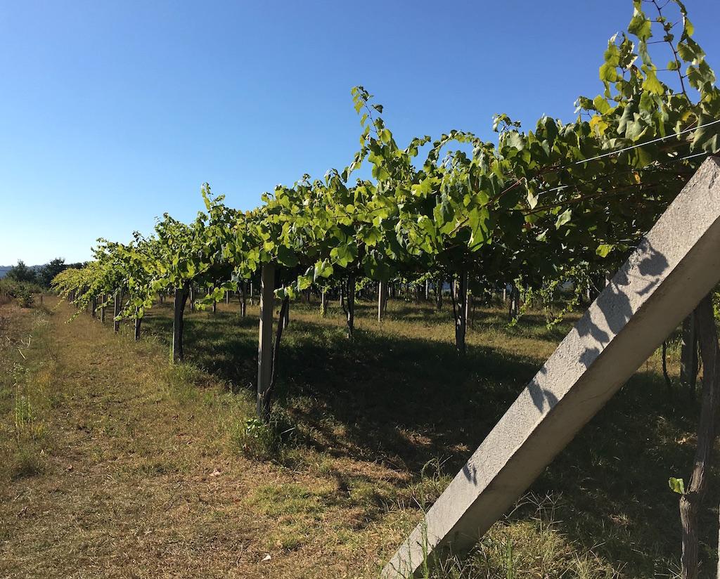 albarino vineyard sanxenxo galicia spain