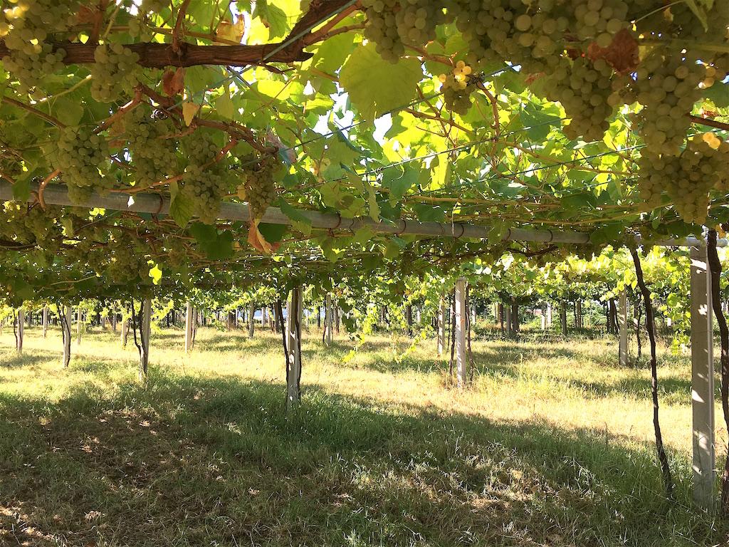 albarino grapes parra trellis galicia spain