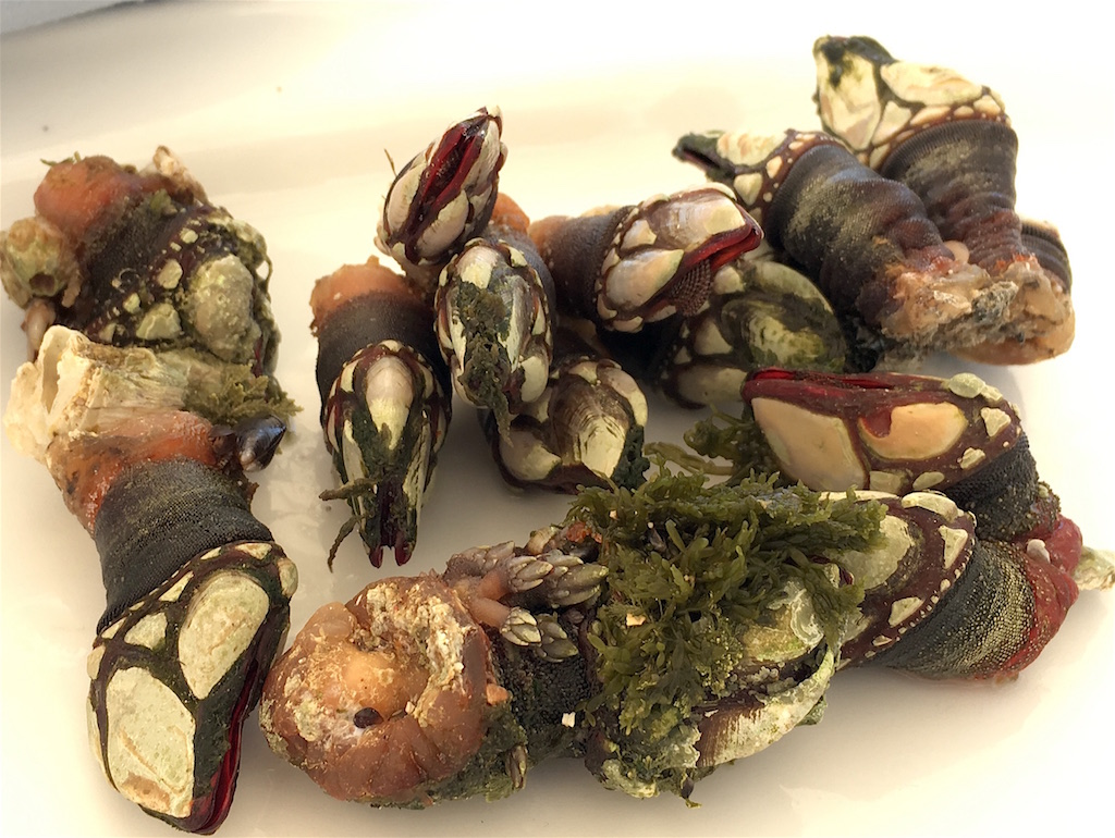 percebes goose barnacles galicia spain