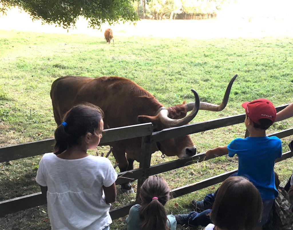 Feeding-a-bull