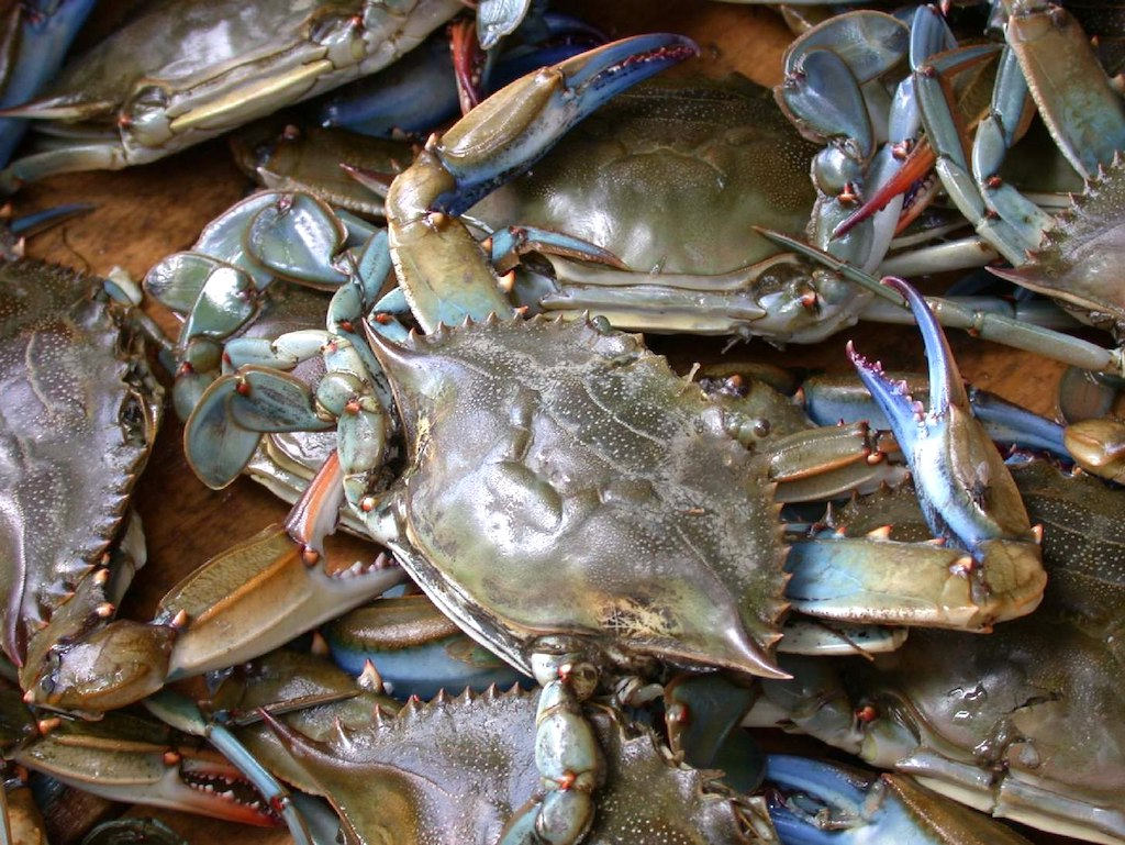 atlantic blue crab photo wpopp