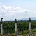 Vinicola-Toyan-vineyard
