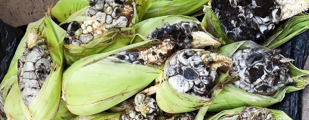 Huitlacoche ears of corn