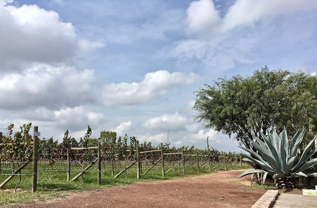 bodegas vega manchon vineyards guanajuato mexico